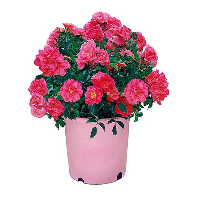 Rosier assorti, Pan American, tapis fleur, 8'' en pot