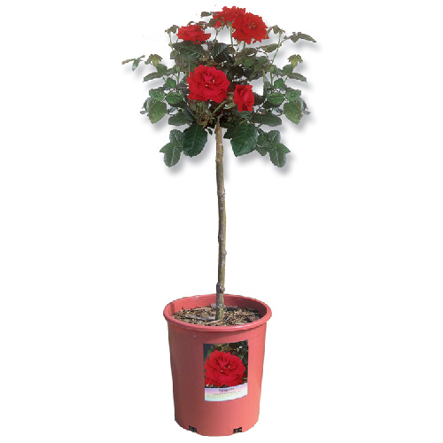 """Patio Roses - 5 Gallons - 24"""" - Assorted"""