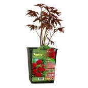 Assorted Paeonia - 1 Gallon