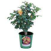 Rose Bush - 3.5 L