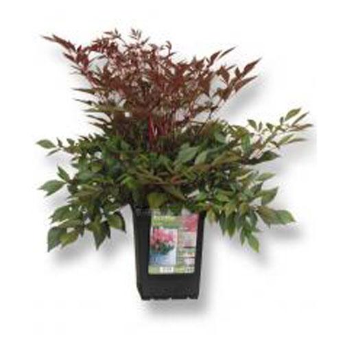 Assortiment de plantes vivaces, pot de 2 gallons