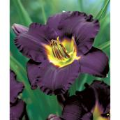 Assorted Exotic Daylily - 1-Gallon Container