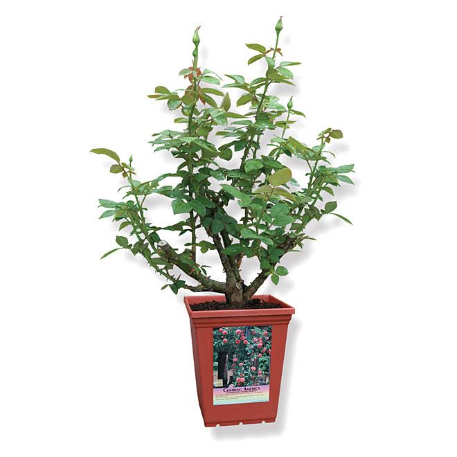 Windmll - Assorted Climbing Rose - Tea Type - 2 Ga