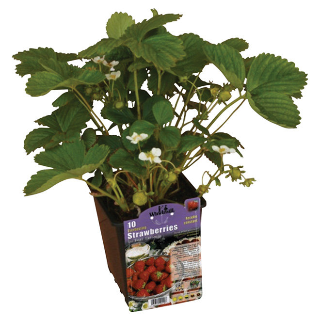 Strawberry and Rhubarb Plants - 1-Gallon Container