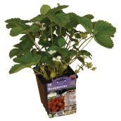 Plants de fraises et rhubarbe, contenant de 1 gallon