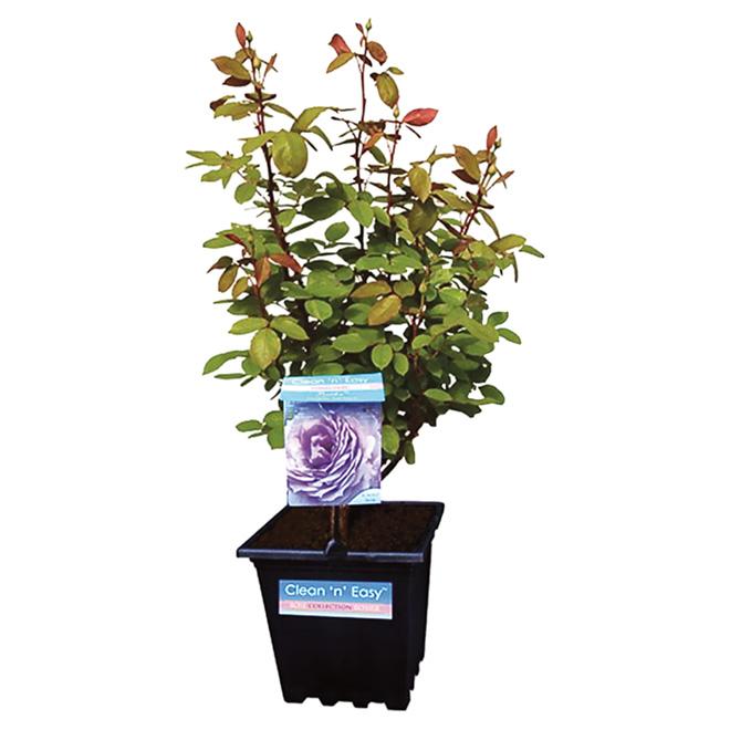 Rosier assorti, Pan American Nursery, hybride thé, n° 2