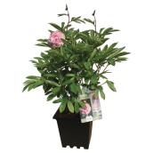Pivoines assorties, pot de 3 gallons
