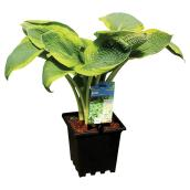Hosta aux feuilles larges,  assortis, pot de 3 gallons