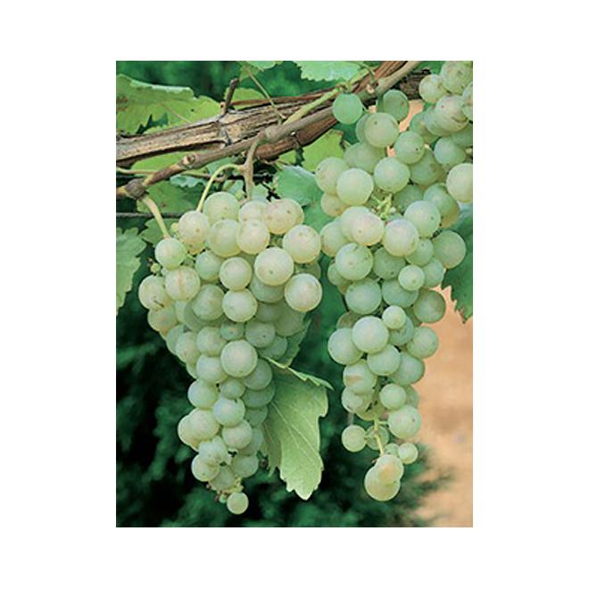 Assorted Vine Grapes - 1-Gallon Container
