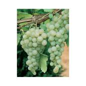Assorted Vine Grapes - 1-Gallon Container