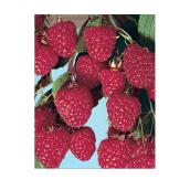 Raspberry Bush Assorted Variety - 1-Gallon Container