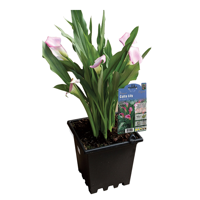 Assorted Callas Lily - 3-Gallon Container