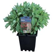 Assorted Sedums - 3-Gallon Container
