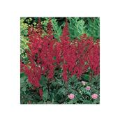Astilbe assortie, pot de 1 gallon