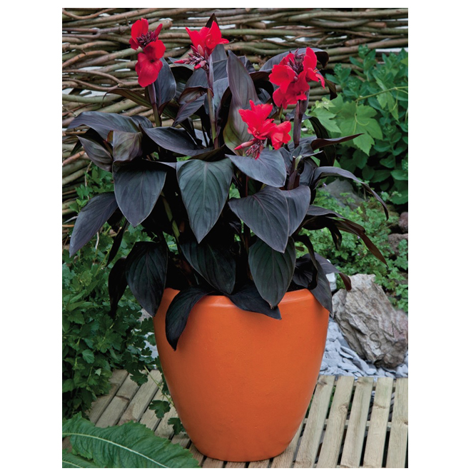 Cannas cannovas assortis, pot de 1 gallon