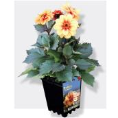Dahlias assortis, pot de 1 gallon