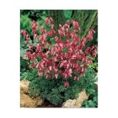 Assorted Bleeding Hearts - 1-Gallon Container