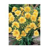 Pan American Nursery - Daylily - 1 Ga - Assorted Colours