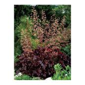 Assorted Coral Bells - 1-Gallon Container