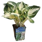 Hostas assortis, pot de 1 gallon