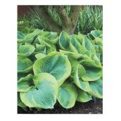 Assorted Hostas - 1-Gallon Container