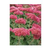 Sedum, Pan American Nursery, 1 ga, couleurs assorties