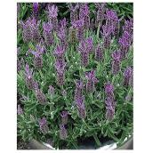Flower Perennials - 1C Collection - 1 Gallon