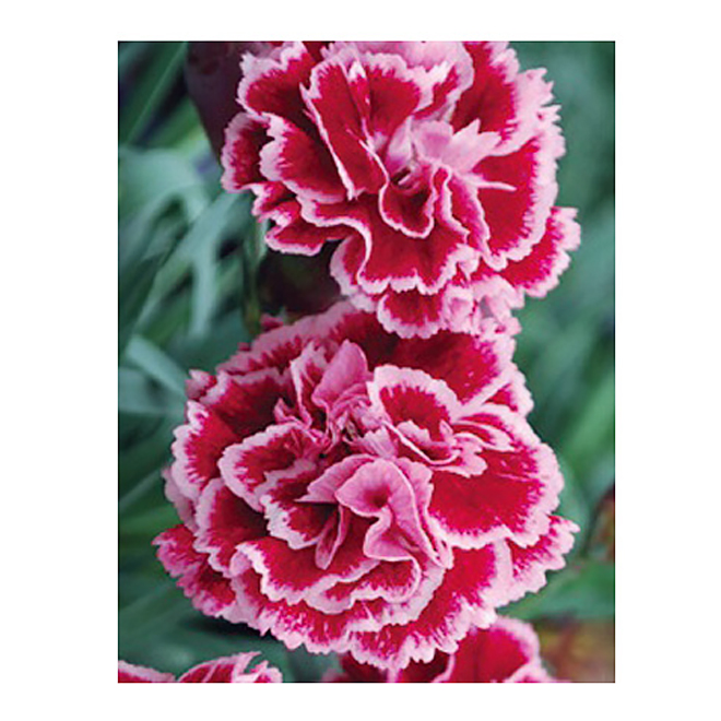 Assorted Dianthus - 1 Gallon