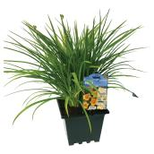 Assorted Daylily - 3-Gallon Container