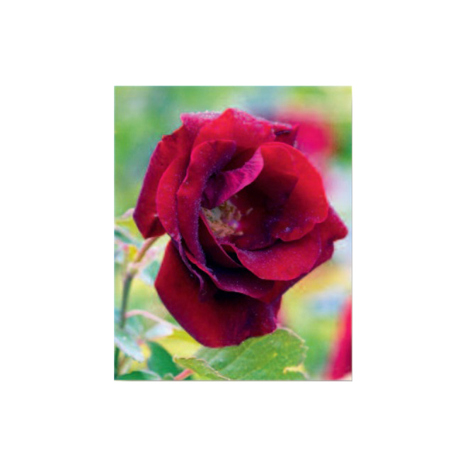 Assorted Rose Canadiana - 2-Gallon Container