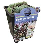Sempervivum (joubarbe) pot de 1 gal, assortis