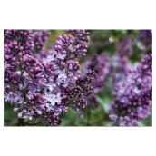 Lilas assortis, Pan American Nursery, 1 gallon