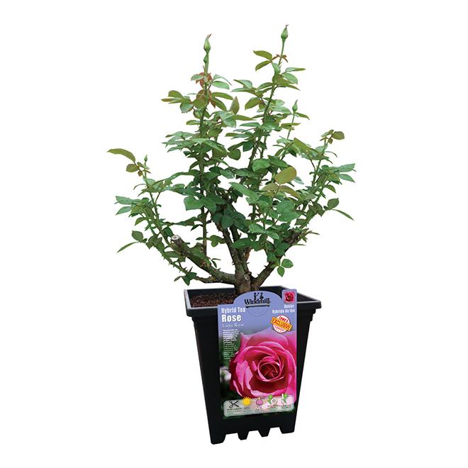 Rosier Lona, Pan American Nursery, pot, 2 Ga