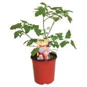 Plant de tomates Mini Perles, contenant de 1 gallon