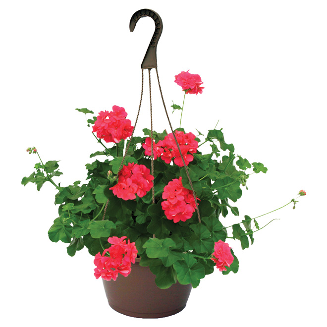 Assorted Hanging Basket - 10-in