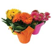 "Gerbera en pot, 6"", couleurs assorties"