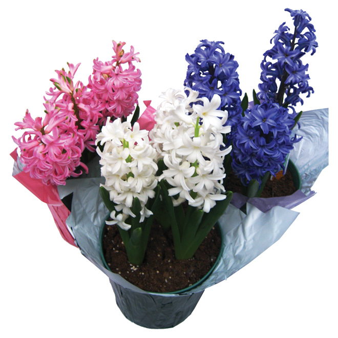 """Potted Hyacinth - 6"""" - Assorted Colours"""