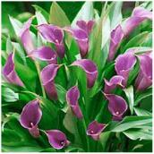 "Calla Lily - 4.5"" - Assorted Colours"