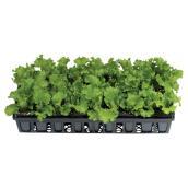 Plant de légume
