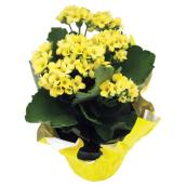 "Kalanchoe - 4"" - Assorted Colours"