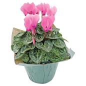 "Cyclamen - 4"" - Assorted Colours"