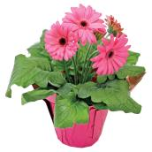 "Potted Gerbera - 4"" - Assorted Colours"