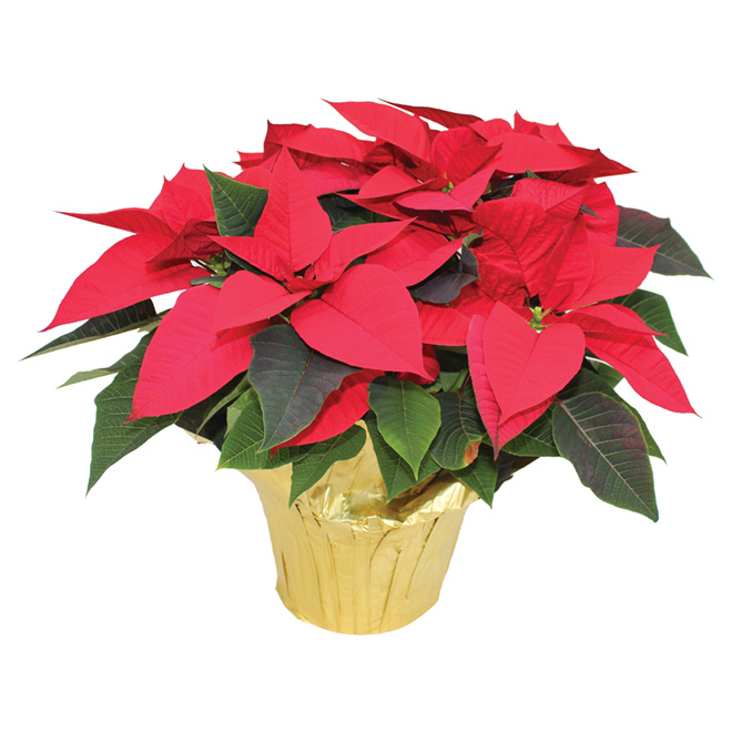 Poinsettia  assorti Meyers Flowers, pot de culture de 6 po