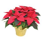 Meyers Flowers Assorted Poinsettia - 6-in Grower Pot