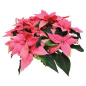 Poinsettia assorti, pot de culture de 8''