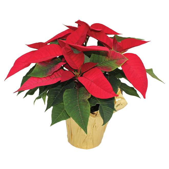 Assorted Poinsettia - 4.5''
