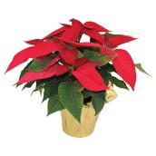 Poinsettia assorti Meyers flowers, pot de culture de 4,5 po