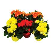 "Begonias - 4"" - Various Colours"
