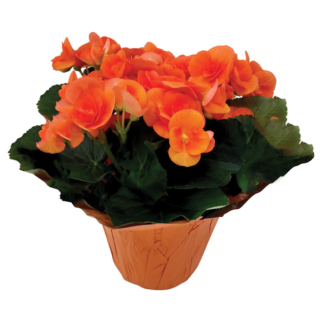 """Potted Begonias - 6"""" - Various Colours"""