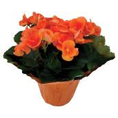 "Potted Begonias - 6"" - Various Colours"